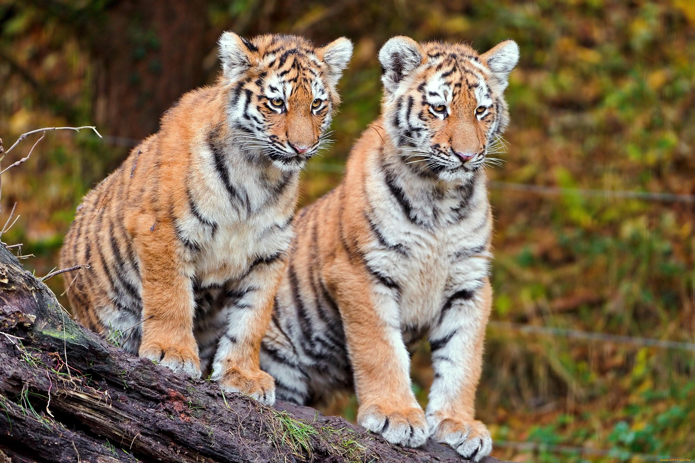 тигры картинки много всего, находит такую
